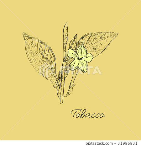 450x468 Vector Drawn Tobacco Leaves With Flowers