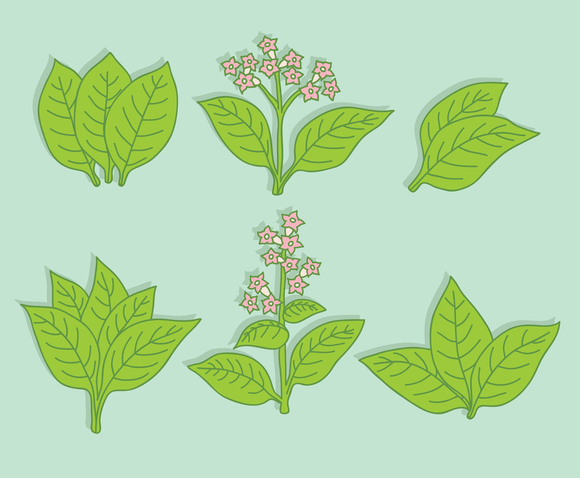 1136x936 Green Tobacco Leaf Vector Vector Art Amp Graphics