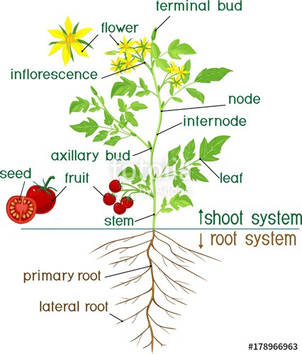 426x500 Parts Of Plant. Morphology Of Flowering Tomato Plant With Title