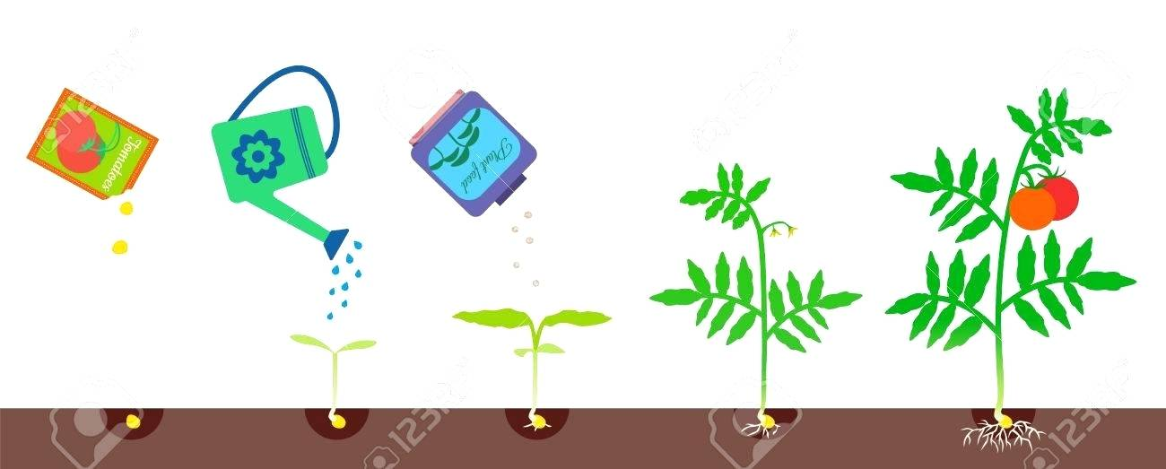 1300x523 Tomato Plant Growth Stages Download Cherry Tomato Growing Stage