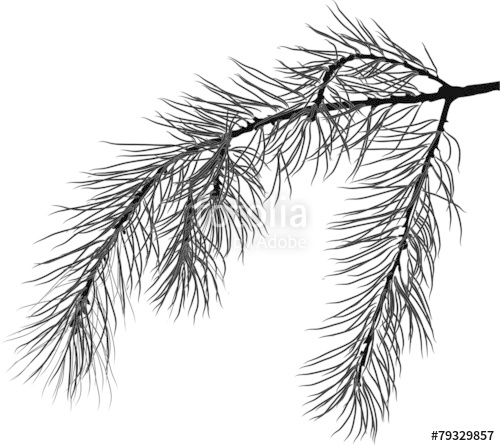 500x446 Black Pine Tree Branch Isolated Illustration Stock Image And