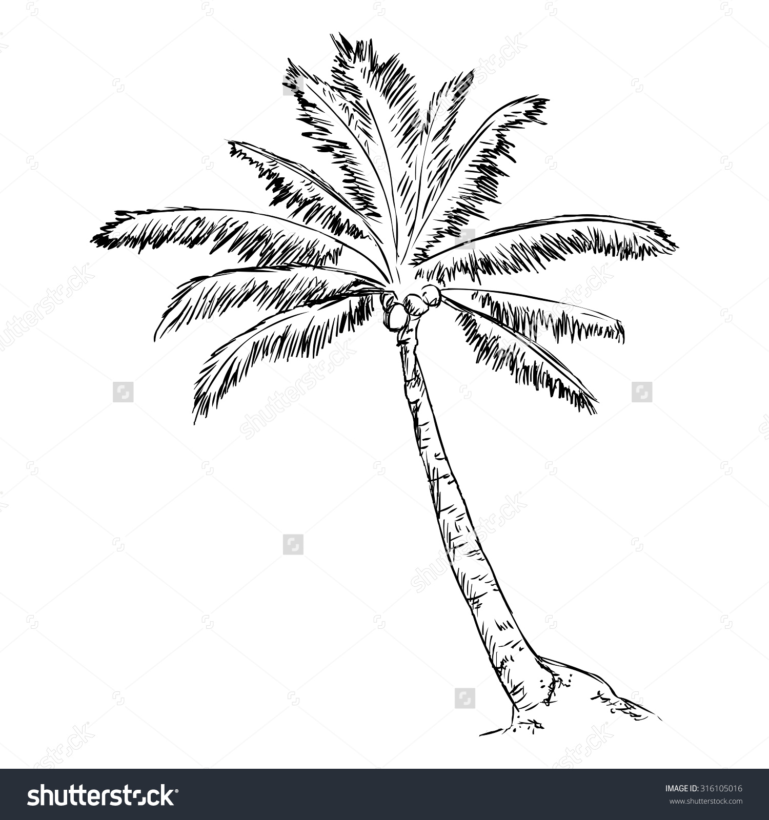 1500x1600 Monumental Palm Tree Outline Drawing Vector Single Sketch Stock