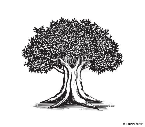500x438 Oak Tree Drawing Vector Logo Design Illustration Stock Image And