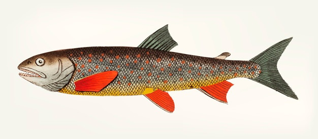626x275 Trout Vectors, Photos And Psd Files Free Download