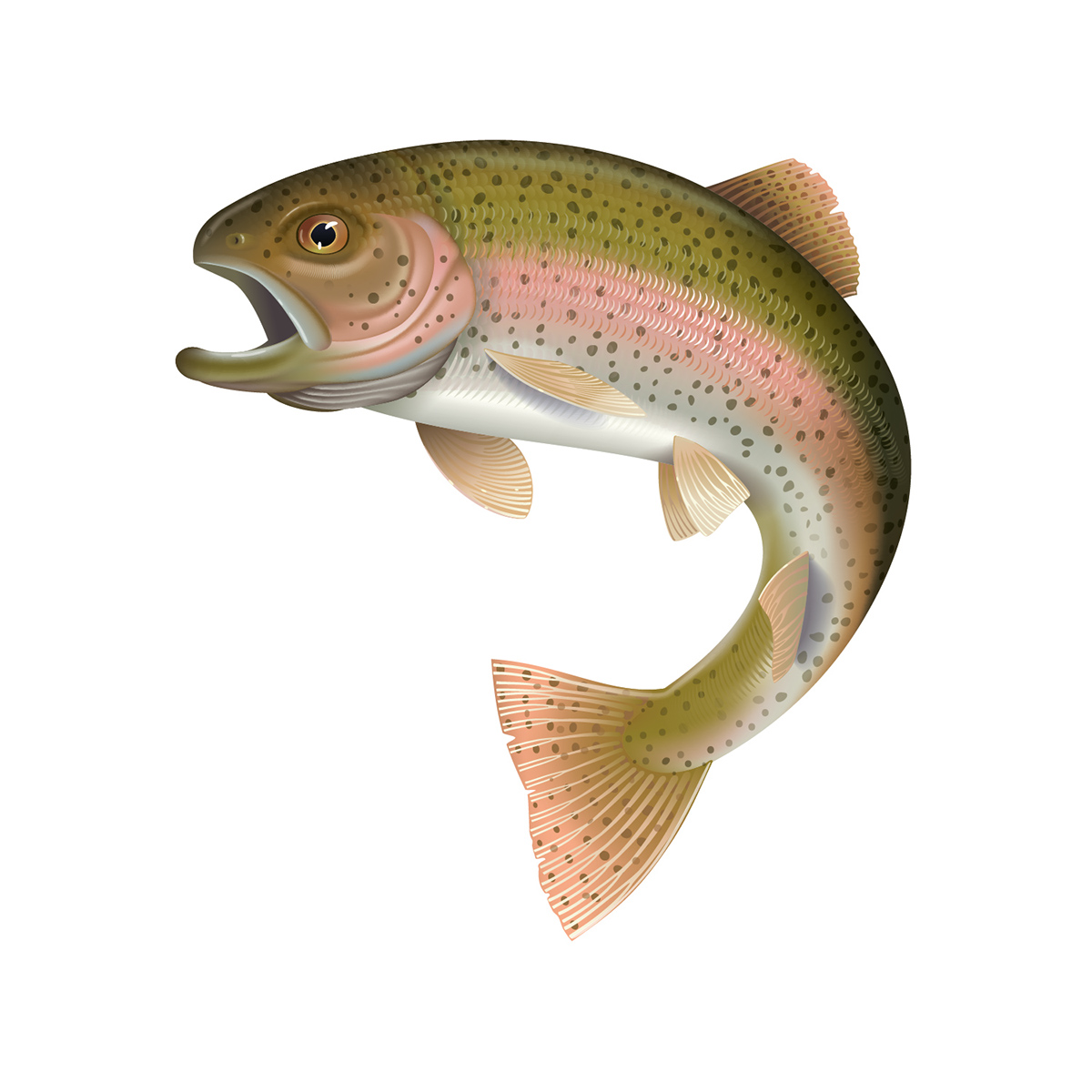 1200x1200 Detailed Vector Illustration Of A Rainbow Trout On Behance