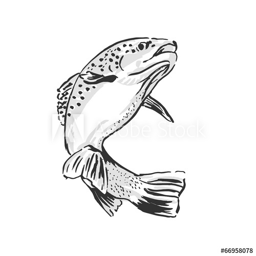 500x500 Drawing Trout. Vector Illustration