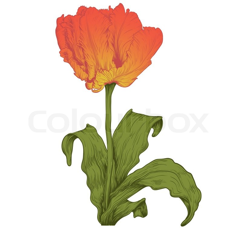 800x800 Vector Tulipan Blomst Stock Vektor Colourbox