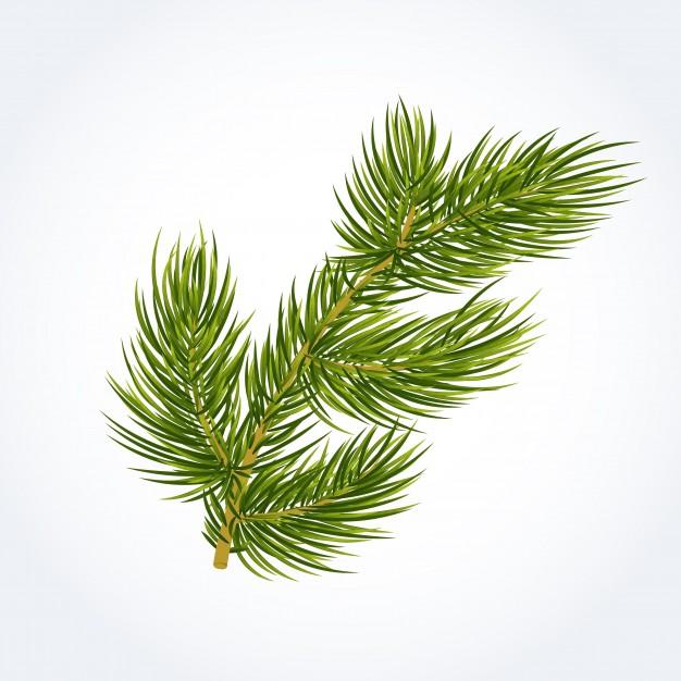 626x626 Green Fir Tree Twig Vector Free Download