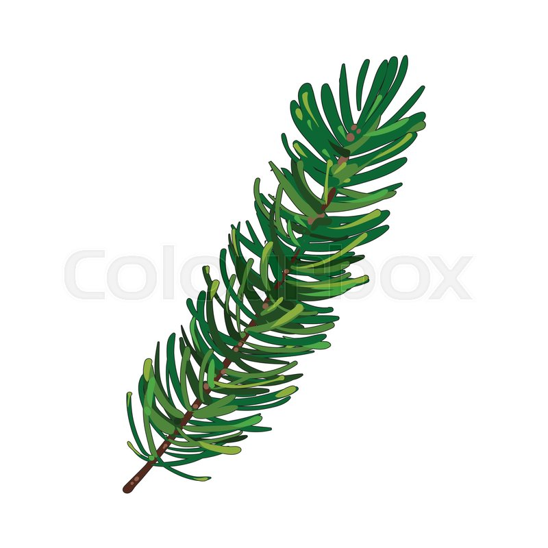 800x800 Hand Drawn Fir Tree Twig, Branch, Spruce, Christmas Decoration
