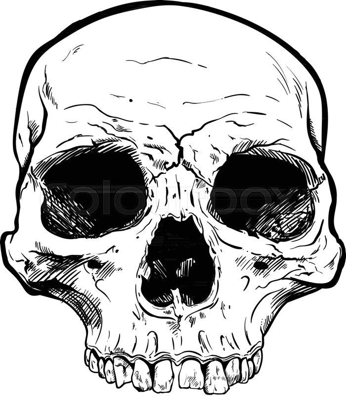 700x800 Human Skull Vector Art. Detailed Hand Drawn Illustration Of Skull
