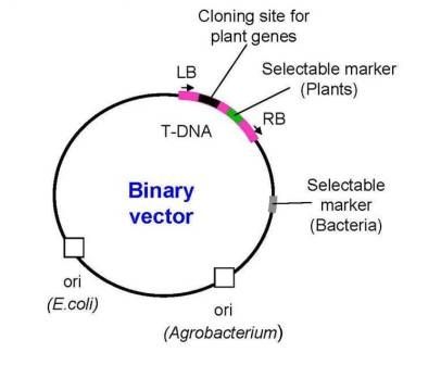 406x336 Ti Plasmid Based Vectors Co Integrate And Binary Vectors