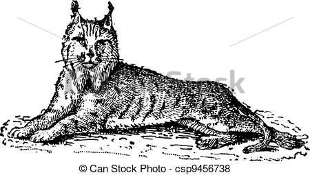 450x255 Lynx Or Bobcat Or Lynx Lynx, Vintage Engraving. Lynx Or Bobcat Or