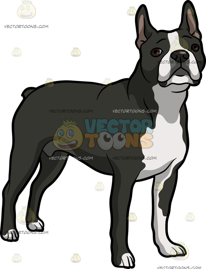 784x1024 A Quiet Boston Terrier Pet Dog Clipart By Vector Toons