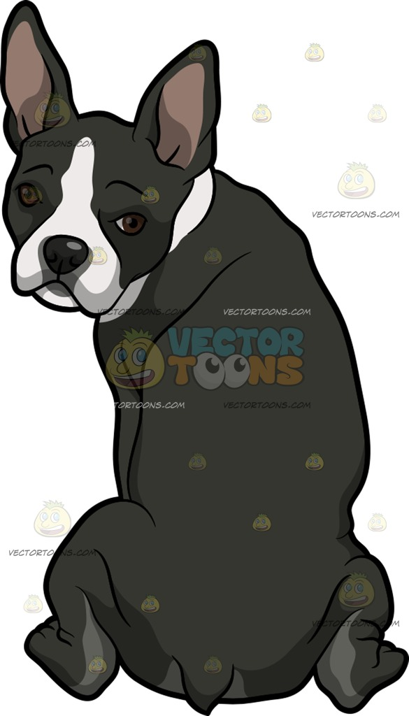 585x1024 A Shy Boston Terrier Pet Dog Clipart By Vector Toons