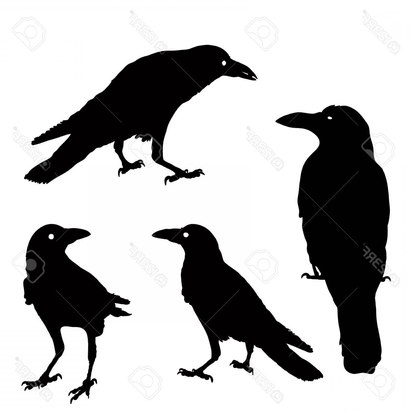 1560x1560 Photostock Vector Silhouette Of A Crows In Different Positions