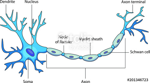 500x276 Schematic Vector Diagram Of A Neuron Or Nerve Cell. Stock Image