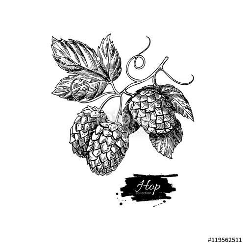 500x500 Hop Plant Vector Drawing Illustration. Hand Drawn Artistic Beer