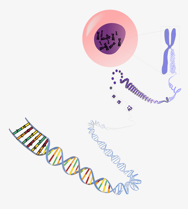 650x721 Biogen Chart, Chart Vector, Genetics, Chromosome Png And Vector
