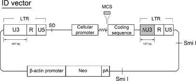 406x167 Development Of Murine Leukemia Virus Based Retroviral Vectors With