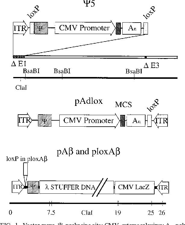 614x748 Figure 1 From Cre Lox Recombination . Construction Of Adenovirus