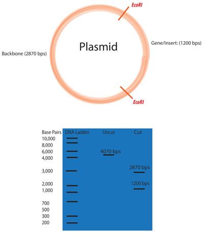 400x458 Addgene Molecular Biology Protocol