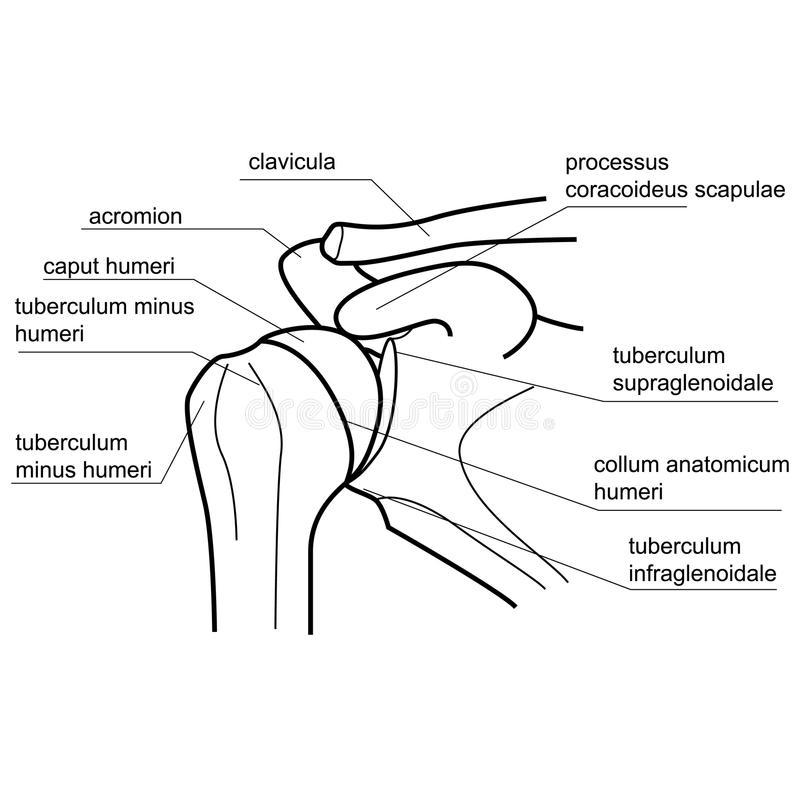 800x800 Anatomy Of Shoulder Bones Bone Structure Of The Shoulder Joint