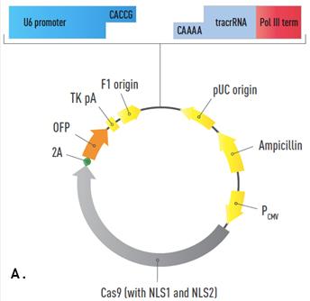 344x334 Geneart Crispr Nuclease Vectors Thermo Fisher Scientific