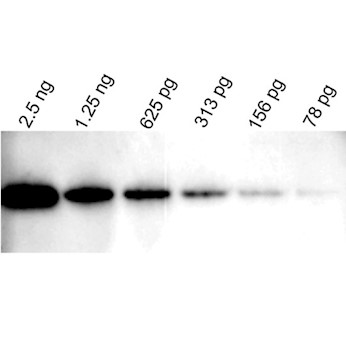 346x346 Vector Laboratories Westvision Hrp Anti Mouse Igg For Western Blot