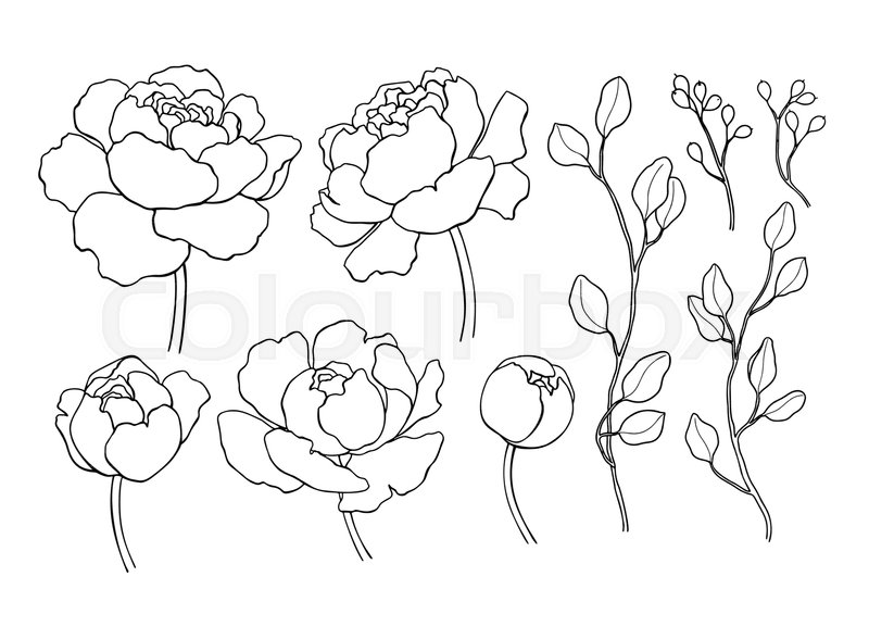 800x588 Peony Flower And Leaves Line Drawing. Vector Hand Drawn Outline