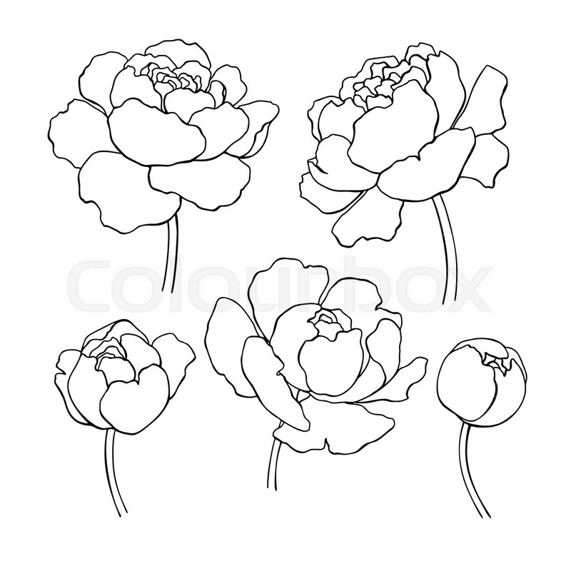 800x800 Peony Line Drawing. Vector Hand Drawn Outline Flower Set. Simple