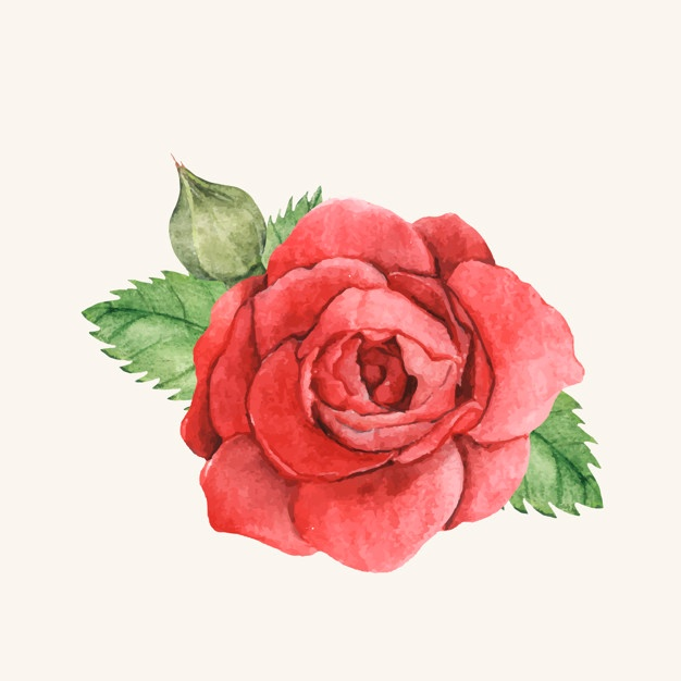 626x626 Red Rose Vectors, Photos And Psd Files Free Download