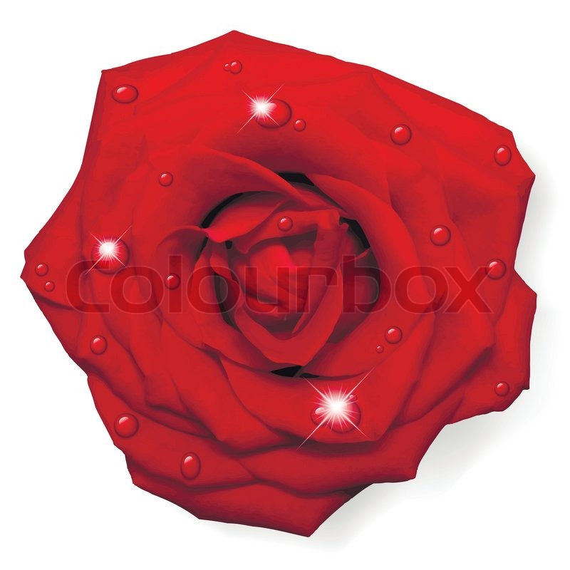 800x800 Vector Red Rose With Water Drops Isolated On White Background