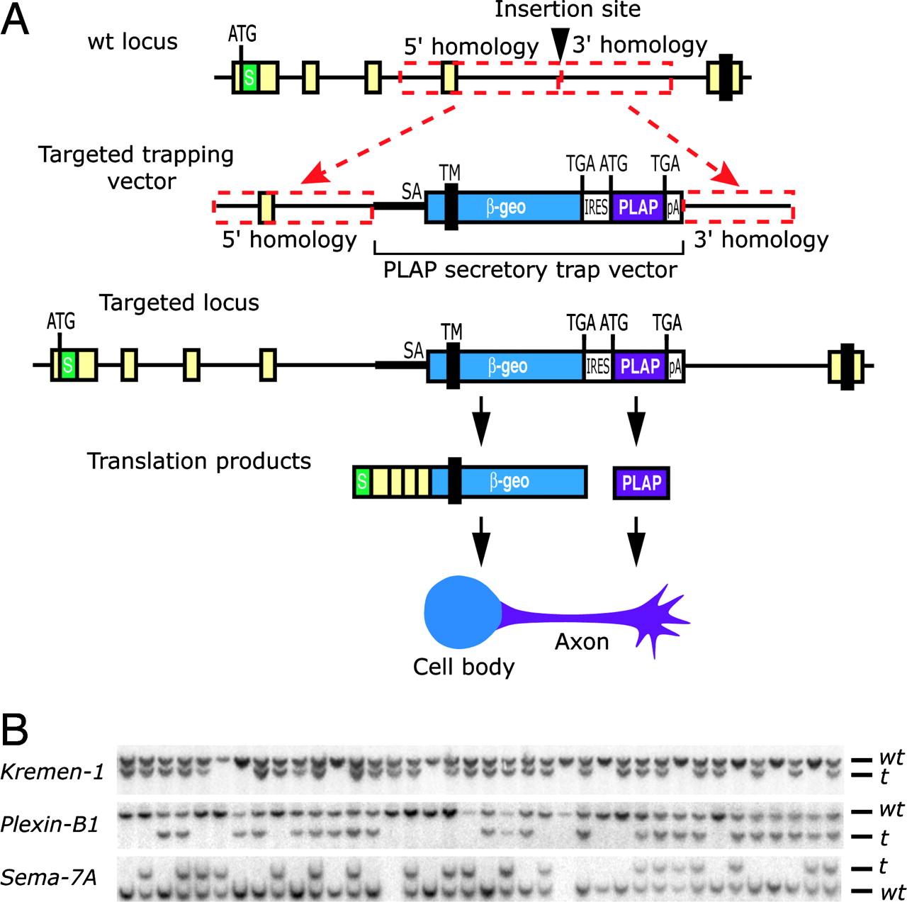 1280x1273 Gene Targeting Using A Promoterless Gene Trap Vector
