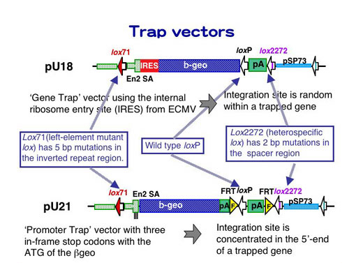 520x400 Database For The Exchangeable Gene Trap Clones (Egtc) Trap Vector