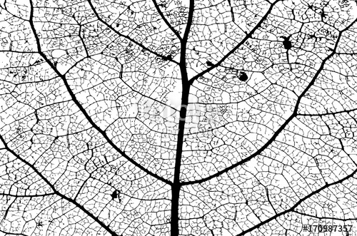500x331 Leaf Structure Skeleton With Veins