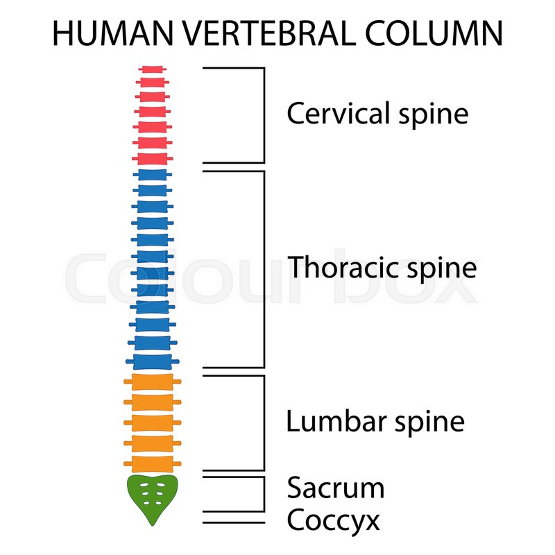 800x800 Vertebral Column Spine Structure Of Human Body. View With All