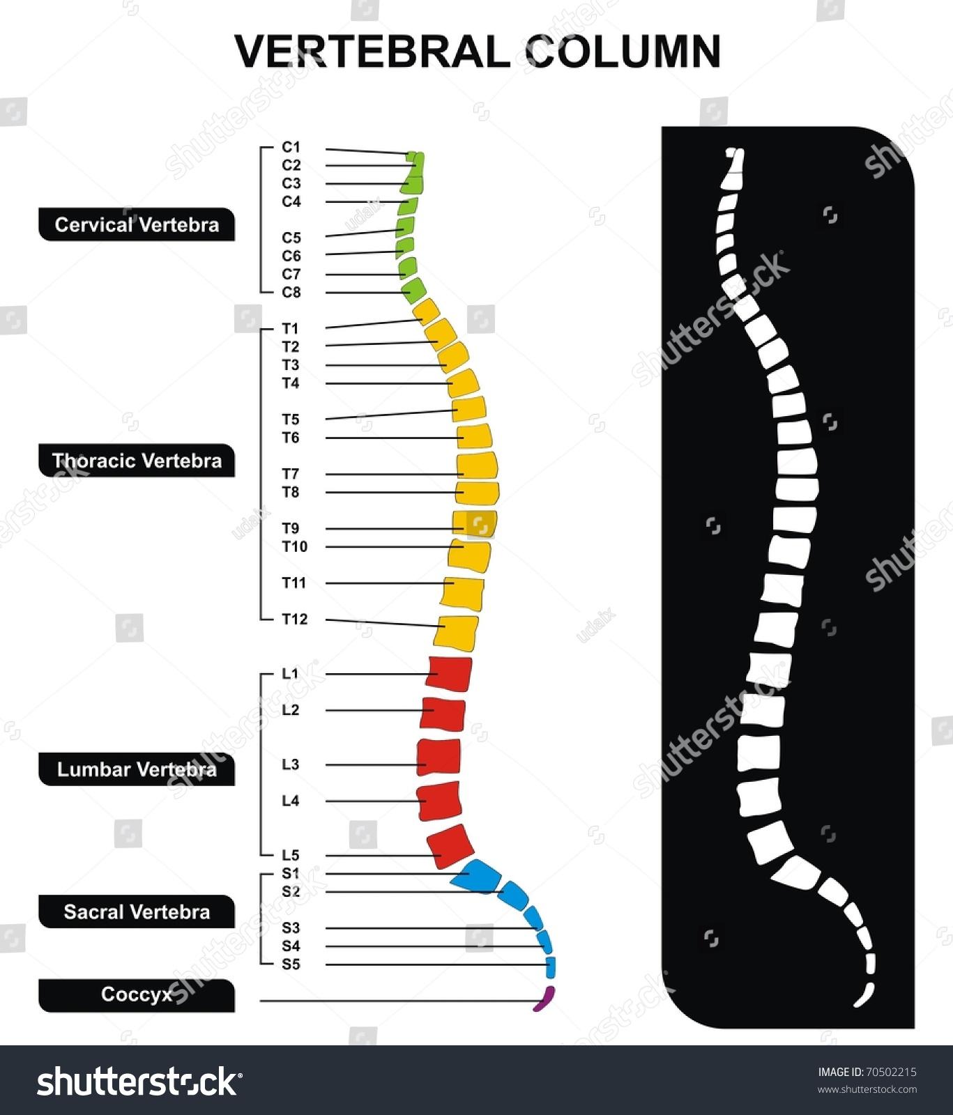 1367x1600 Diagram Of The Vertebrae Vector Vertebral Column Spine Diagram