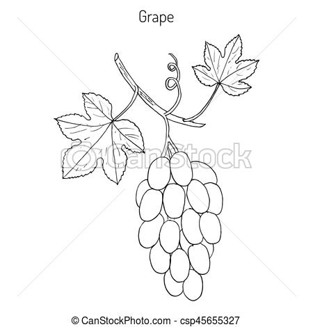 450x470 Common Grape Vine. Vitis Vinifera, Common Grape Vine. Hand Drawn
