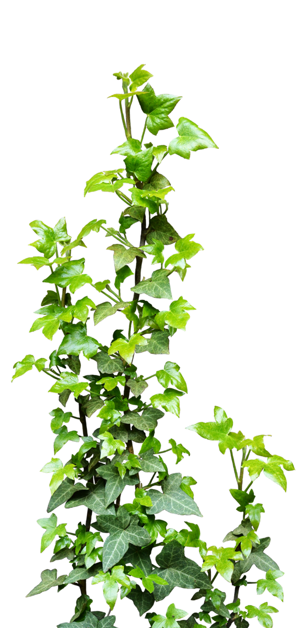 600x1230 Collection Of Free Vector Vines Transparent. Download On Ubisafe