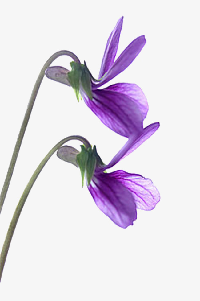 650x976 Violet Flower, Flower Vector, Two Beams, Purple Png And Psd File