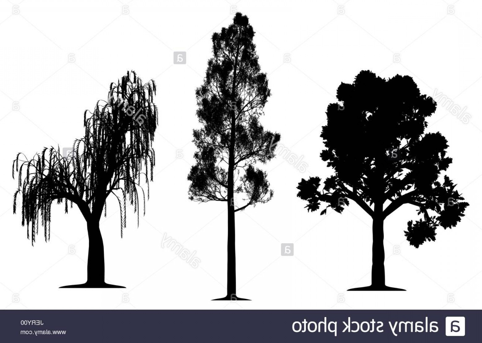 1560x1110 Stock Photo Tree Trees Pine Oak Silhouette Weeping Willow Vector