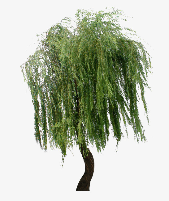 546x651 Weeping Willow Png, Vectors, Psd, And Clipart For Free Download
