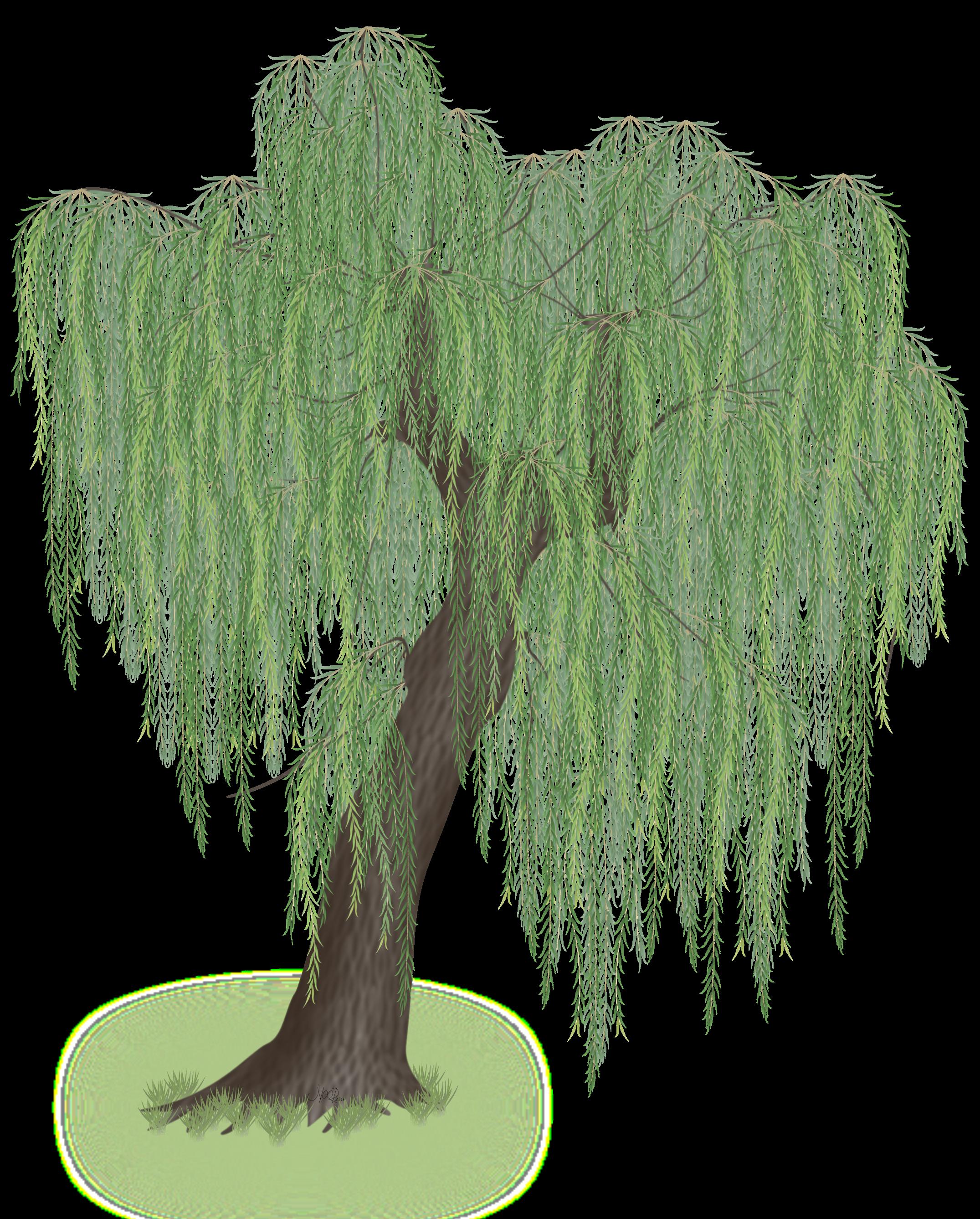 2151x2675 A Weeping Willow Vector Art By Noor