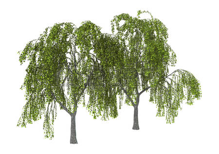 450x318 Weeping Willow Tree Clipart