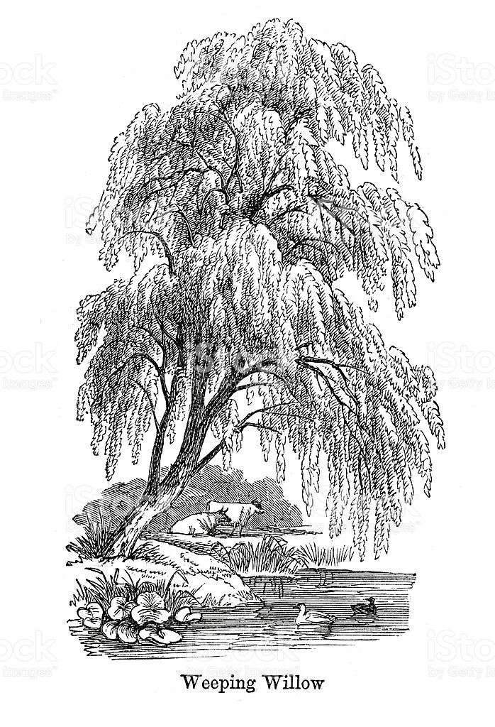 698x1024 Weeping Willow Tree Drawing, Vector Image Ink Tree