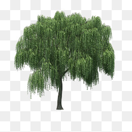 260x261 Willow Tree Png Hd Transparent Willow Tree Hd.png Images. Pluspng