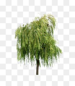 260x297 Willow Tree Png, Vectors, Psd, And Clipart For Free Download Pngtree