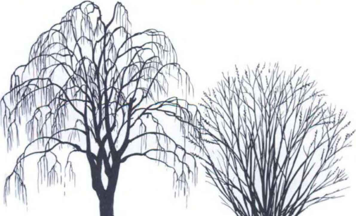1191x724 Willow Tree Silhouette Clipart
