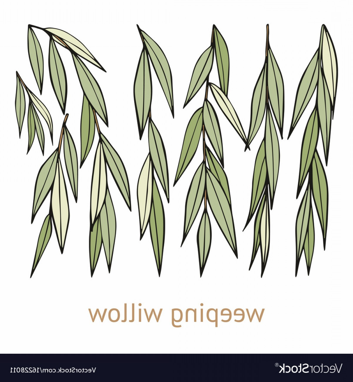 1200x1296 Weeping Willow Hand Drawing Set Of Vector Orangiausa