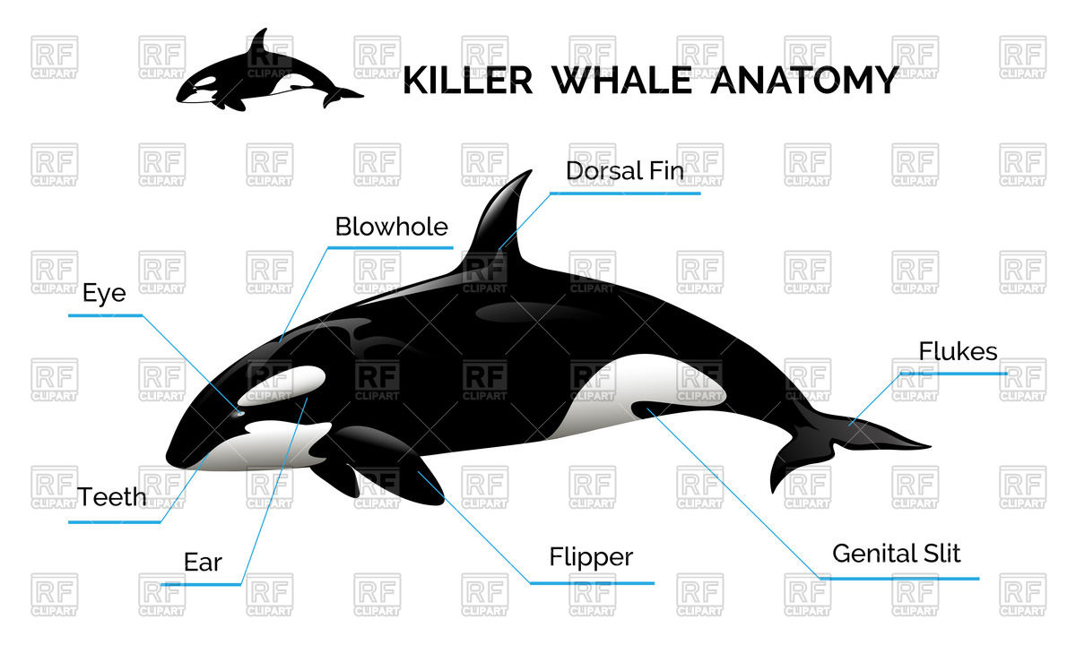 1200x720 Killer Whale Anatomy Vector Image Vector Artwork Of Plants And